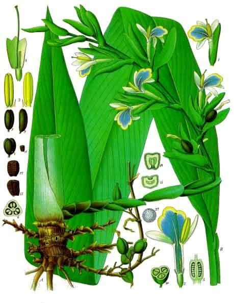 Elettaria_cardamomum_-_Köhler–s_Medizinal-Pflanzen-057