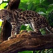 Margaykat_Leopardus_wiedii.jpg