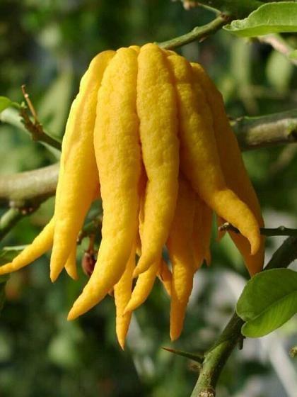 citrus-cedrat
