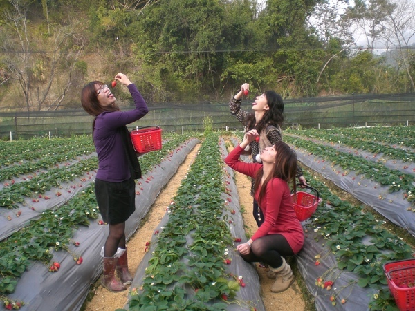 採草莓怎能不偷吃  哈哈