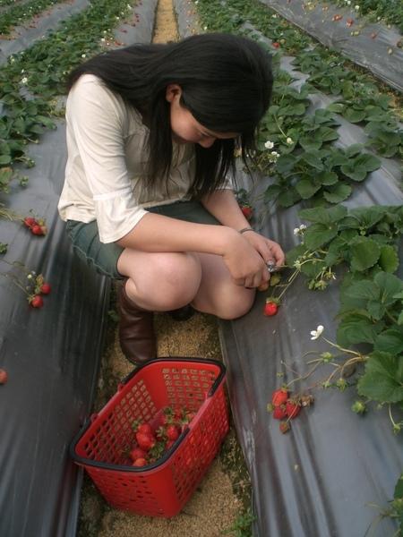 貝貝採草莓~認真