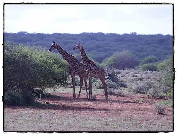 0213-羅氏跟馬賽長頸鹿