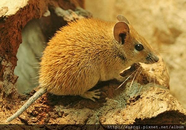 desert-mouse-558811_1920.jpg