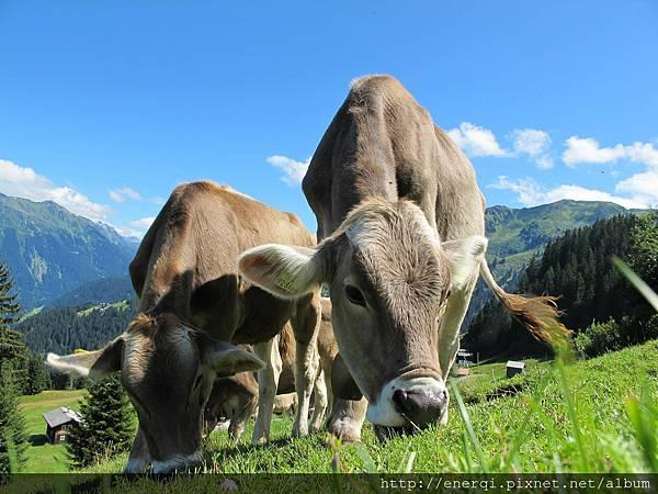 cows-cow-203460_1920.jpg