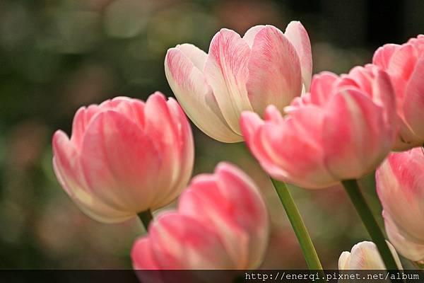 tulips-1134103_1920.jpg