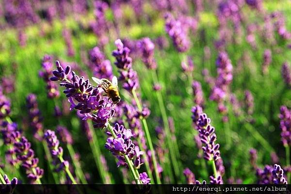 lavender-834253_1920.jpg