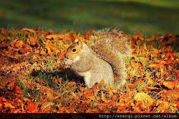autumn_squirrel_by_chrisdonohoe-d5kcrk3.jpg