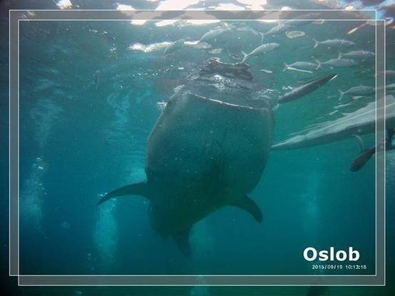 [轉載自English FELLA台灣專屬部落格] English Fella  --  讓我們一起跟鯨鯊游泳吧~~