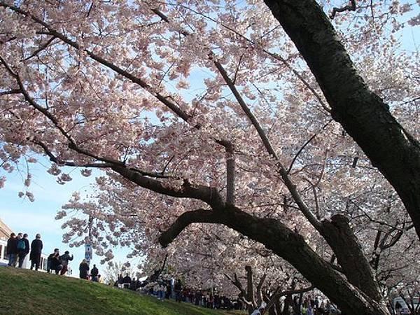 櫻花滿天下.JPG