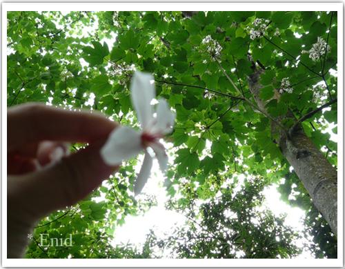 桐花樹都很高