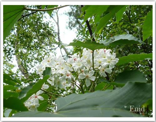 終於在園區看到一棵比較低的桐花樹