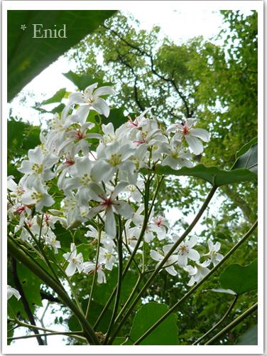 比較矮的桐花樹