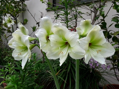 20170416_Amaryllis Flower .jpg