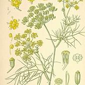 fennel01-l.jpg