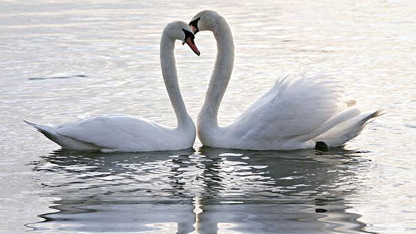 1301353181-swans_making_heart.jpg