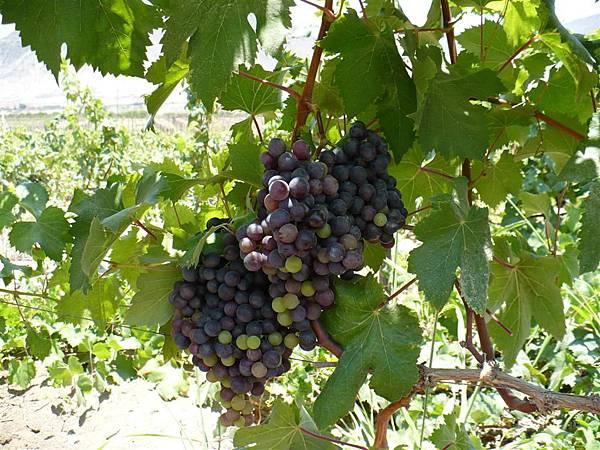 006-Quebranta秘魯葡萄品種
