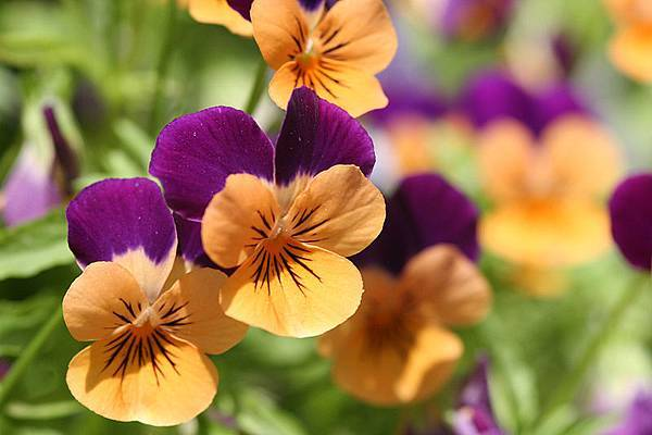 800px-Orange_violet_pansies.jpg