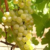 Chardonnay2.jpg