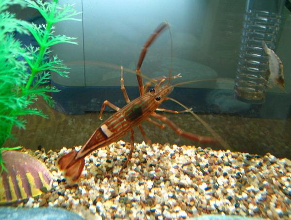 西瓜蝦.jpg