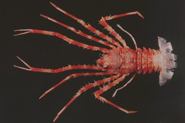 大刺刺鎧蝦.jpg