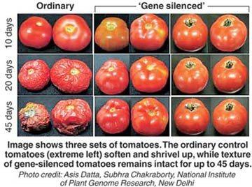 比較有機蕃茄和轉基因蕃茄 天然番茄爛得比較快
