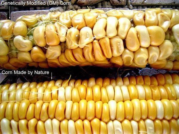 地球上的花粉是不分界線的 基因改造的穀類已經跟其他植物混在一起