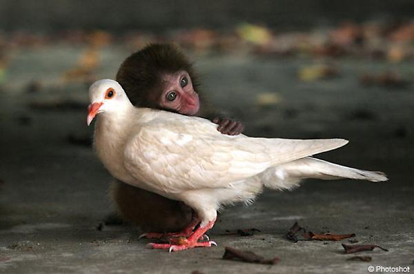 鴿子和獼猴之戀_The abandoned monkey who has found love with a pigeon.jpg
