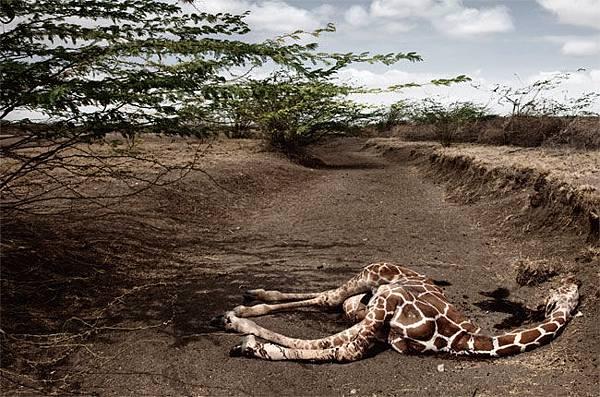 肯尼亚干旱-渴死的长颈鹿.jpg
