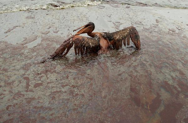 鵜鶘正面對著撲面而來的海浪 在黏黏的油垢中掙扎.jpg