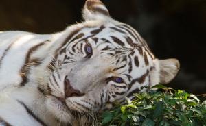 white-tiger-dhiren.jpg