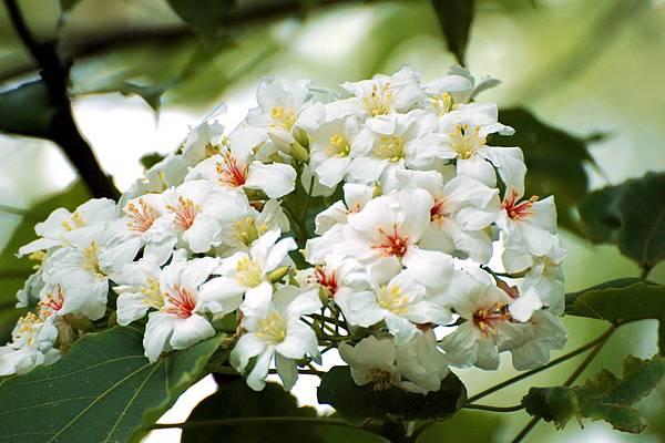 Flowers_of_Tung_oil_tree.jpg