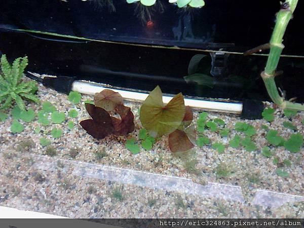 紅虎斑睡蓮 水面俯看 - 001.jpg