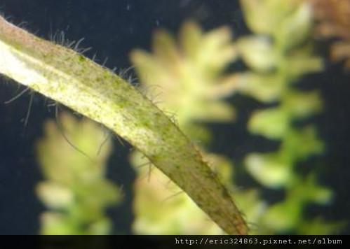 絨毛藻.jpg