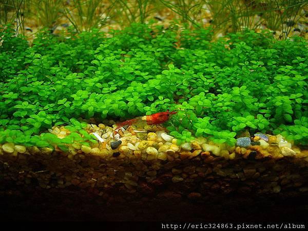 琉璃蝦 - 001.JPG