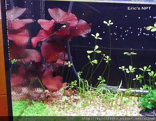 紅虎斑睡蓮 - F3.2 - 1/20 - 400 - 001 ★ 加字
