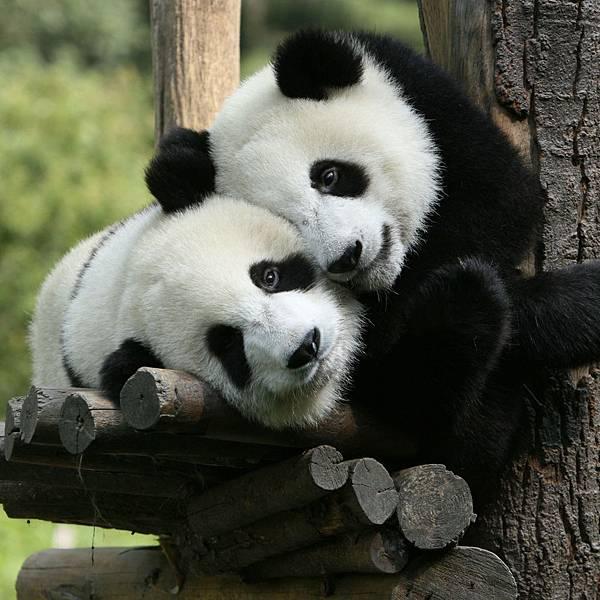 熊貓擁抱-2048x2048