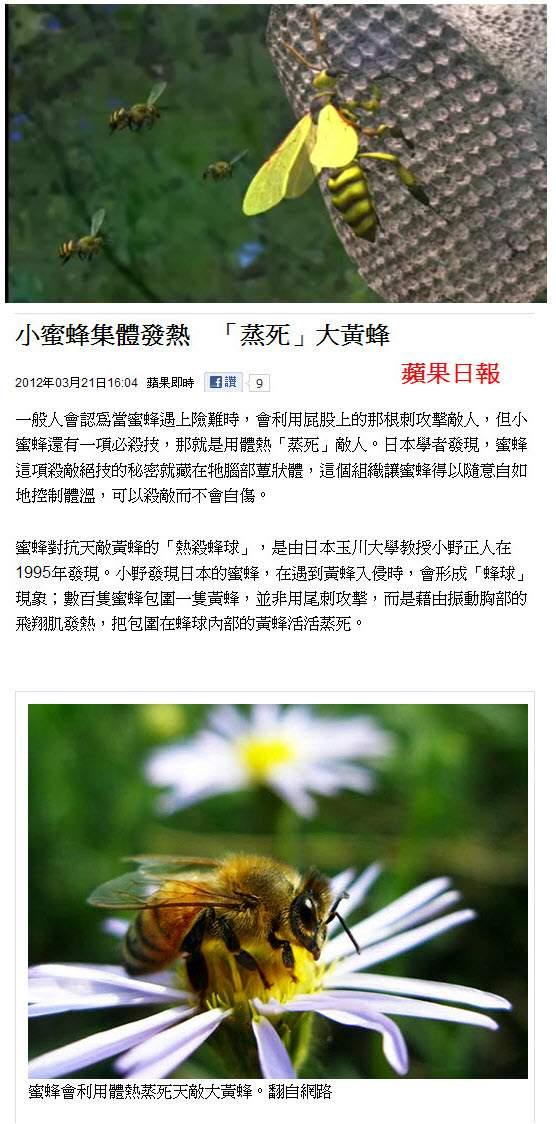 小蜜蜂集體發熱 「蒸死」大黃蜂-2012.03.21