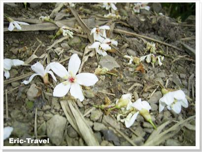1-油桐花2.jpg