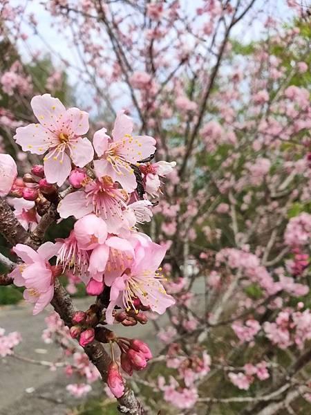 金台灣櫻花