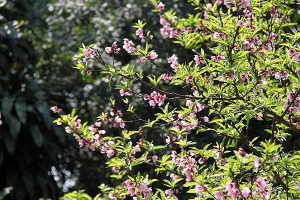 peachBlossom.jpg