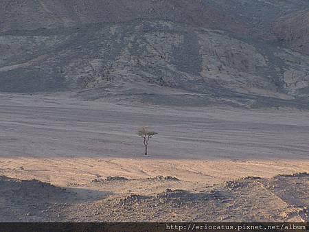 沙漠裡的樹