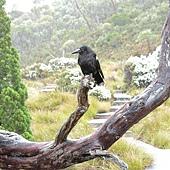 虎視眈眈的烏鴉