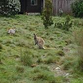 覓食的袋鼠