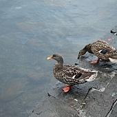 湖邊的鴨子