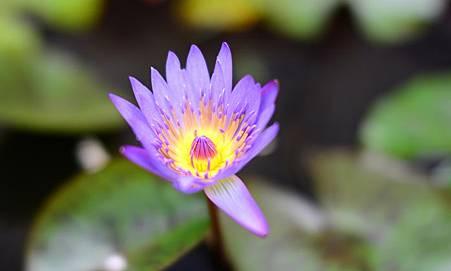 DSC_7324-crop 紫蓮