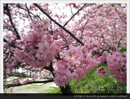 清境櫻花開