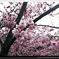 清境櫻花開3