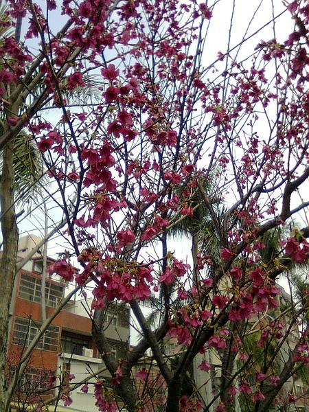 綠園道12-櫻花.JPG