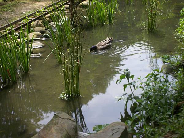 照門休閒農業區 九芎湖金谷園 有鴨鴨