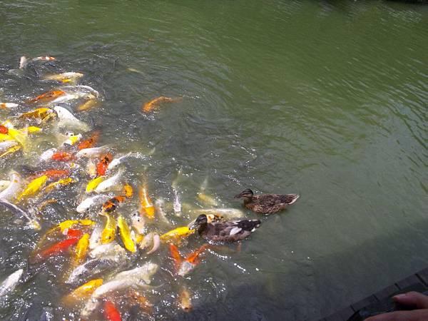 照門休閒農業區 箭竹窩秀風農場 魚池 有鴨鴨